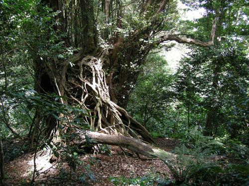 御蔵島は巨木でも有名