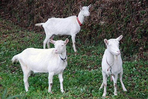 くりこま高原自然学校・松倉校のヤギたち